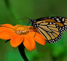 A Monarch and a Crab Spider by Margaret Barry