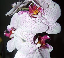 Orchid by LoriHonour