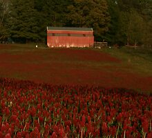 Crimson Clover Carpet by shutterbug3070