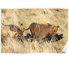 Lioness with Cubs, Moving a Wildebeest Kill, Maasai Mara, Kenya  Poster