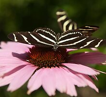 Zebra Longwing butterfly photography by SammyPhoto