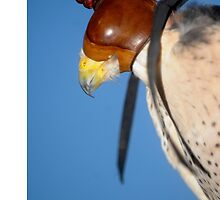 A Falcon With a Cap on its Head by patjarrett