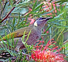 Lewin Honeyeater on Grevillea by Graeme  Hyde