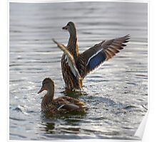 Mallards Flap On Water Poster