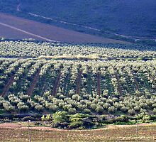 The olive grove by Bruce Eitzen
