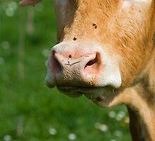 cow face by Dan Cretu