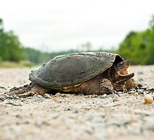 Snapping Turtle by steini