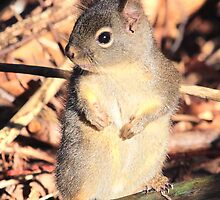 Young Douglas Squirrel by Carl Olsen