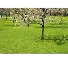 Spring Orchard Photographic Print