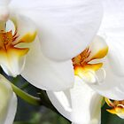 Orchid Blooms by Jennifer Vickers
