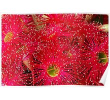 Red Flowering Bloodwood Poster