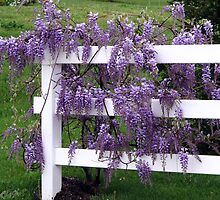 Wisteria Lane by LavenderMoon