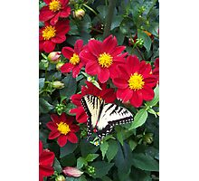 Swallow Tail Photographic Print