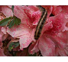 Caterpillar on Pink Bloom Photographic Print