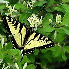 Honeysuckle Spring by christiane