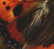 Painted lady by M R Cooper
