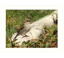 Female House Sparrow Art Print