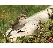 Female House Sparrow Photographic Print