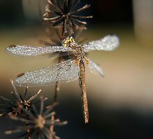 Frozen Dragonfly ONE... Free State, South Africa by Qnita
