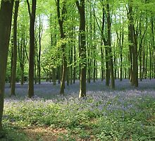 Bluebell woods by Lynzi