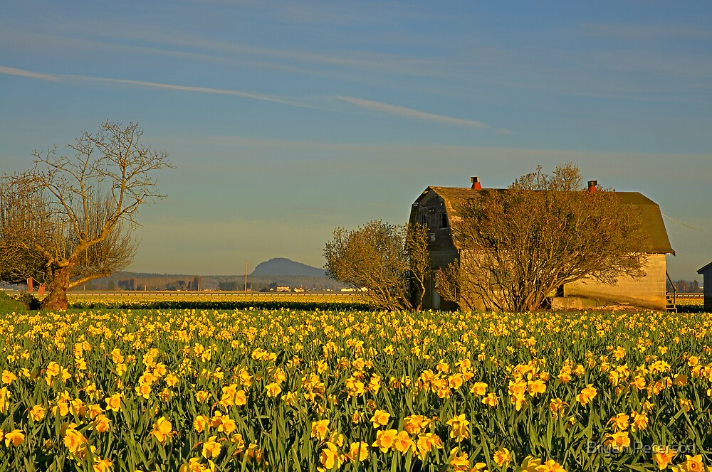 A Morning in the Daffodils by Bryan Peterson