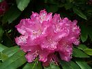 Pink Rhodendron by LoneAngel