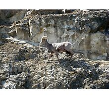 American Bighorn Sheep II Photographic Print