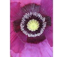 Purple poppy rectangle Photographic Print