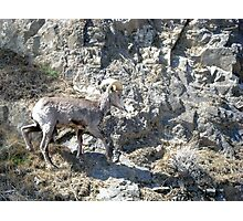 American Bighorn Sheep III Photographic Print