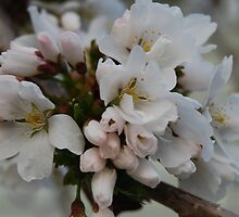 Cherry Blossoms by Victoria Jostes