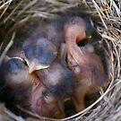 baby birds by aceimages