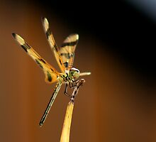 Dragon Fly by Terry Arcia