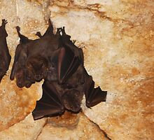 Fruit Bats by jdmphotography
