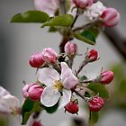 Apple Blossom Time by Clarissa Stuart