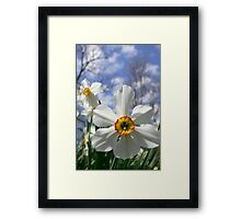 Poet's Daffodil Framed Print