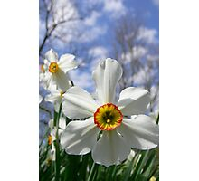 Poet's Daffodil Photographic Print