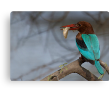 White Breasted Kingfisher Canvas Print