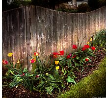 Tulips along a fence Photographic Print