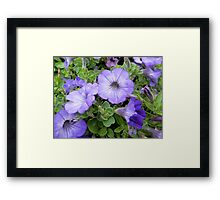 Potted Petunias Framed Print