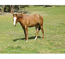 Quarter Horse filly Photographic Print