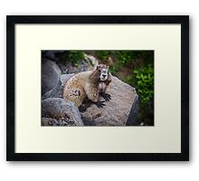Marmot at Mount Rainier's Myrtle Falls Framed Print