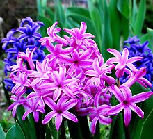 Purple Hyacinth by buddykfa
