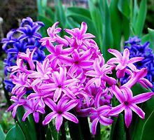 Purple Hyacinth by buddykfa