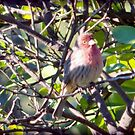 A House Finch Muses in a Lime Tree by jsmusic