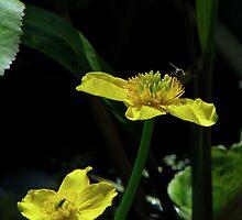 Marsh Marigold & Fly by Sharon Perrett