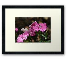 The Dianthus of the Divine Framed Print