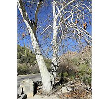 White Sycamores Photographic Print