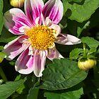 Pink Dahlia Close-up by Rod Johnson