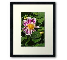 Pink Dahlia Close-up Framed Print