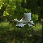 WHITE IBIS by Howard & Rebecca Taylor